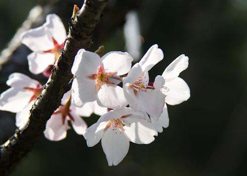 Cireșii din grădina japoneză