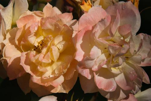 2011-05-28 02 Trandafiri