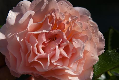 2011-05-28 04 Trandafiri