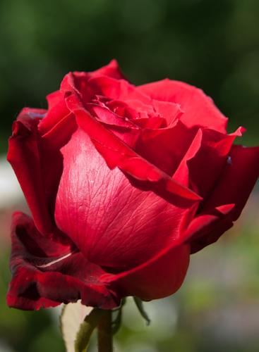 2011-05-28 09 Trandafiri