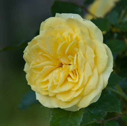 2011-05-28 14 Trandafiri