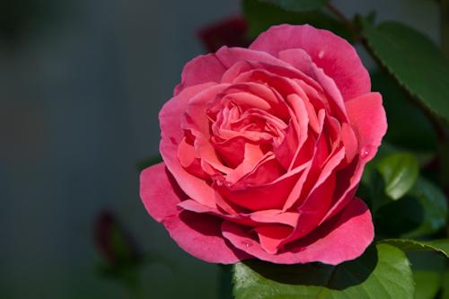 2011-05-28 16 Trandafiri