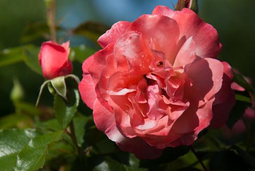 2011-05-28 17 Trandafiri