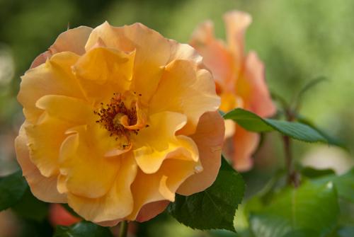 2011-05-28 23 Trandafiri