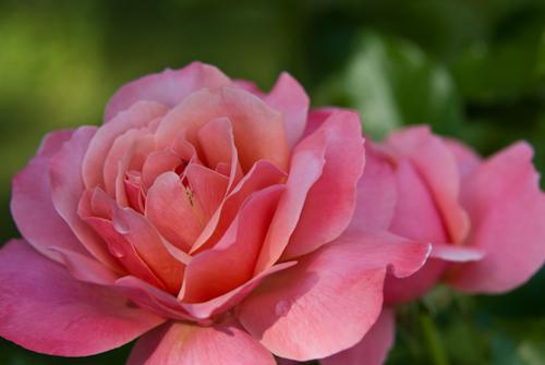 2011-05-28 26 Trandafiri