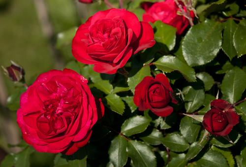 2011-05-28 30 Trandafiri
