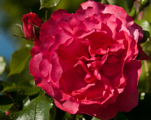 2011-05-28 31 Trandafiri
