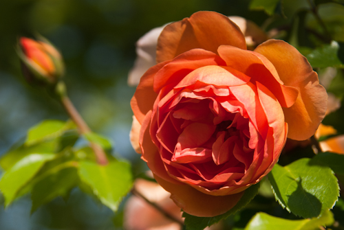 2011-05-28 33 Trandafiri