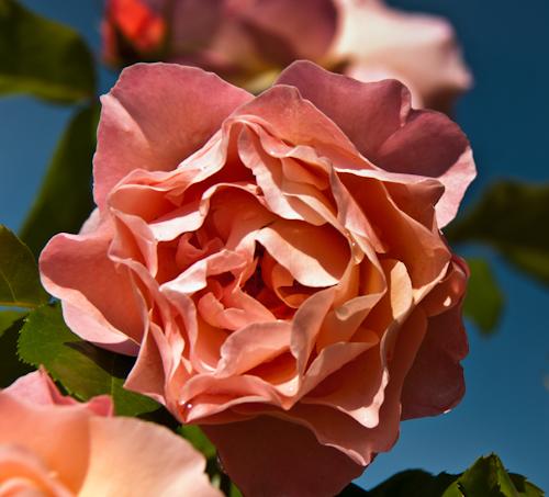 2011-05-28 35 Trandafiri
