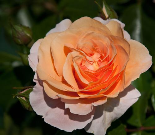 2011-05-28 38 Trandafiri