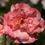 Grădina cu trandafiri