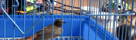 Păsărel