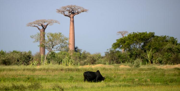 Aleea Baobabilor & alți baobabi celebri