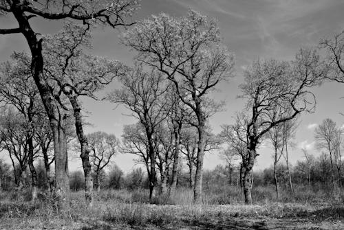 2012-04-07 01 Padurea Comana in alb si negru