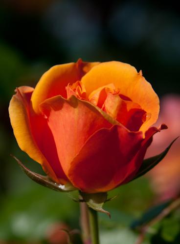 2011-05-28 21 Trandafiri