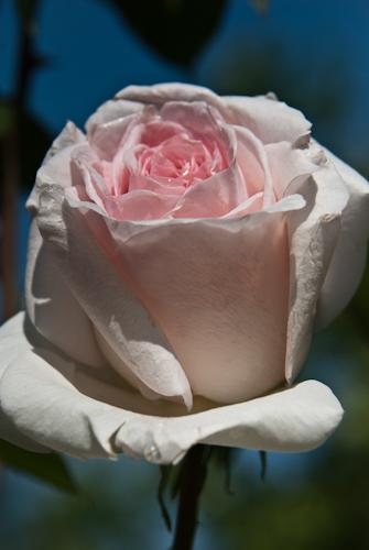 2011-05-28 43 Trandafiri
