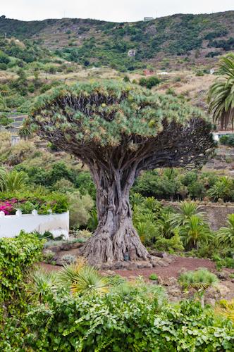 2013-09-13 148 Tenerife-Icod de los Vinos-El Drago Milenario