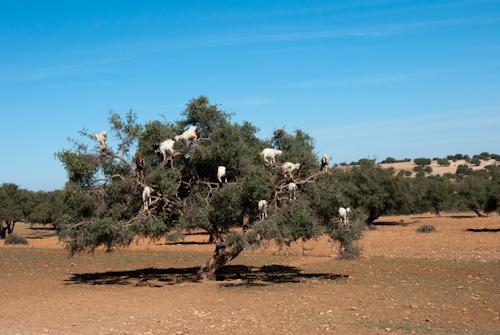 2014-03-24 198 Maroc - In copacul de argan